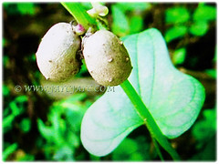Rounded and small edible bulbils of Dioscorea polystachya (Chinese Yam, Cinnamon Vine, Ubi Keladi in Malay), 5 Oct 2017