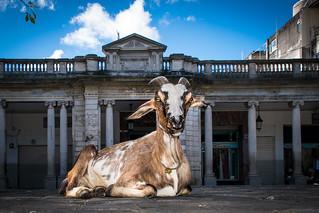 Goat in Guatemala City's main square