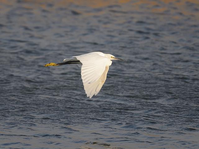Little egret - windy evening