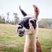 Jonah the llama