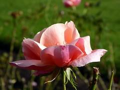 Rose in Bury 3