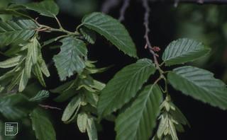 Brown hornbeam fruits by River Taff, Tongwnlais. October 1980