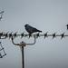 Birds on a Aerial