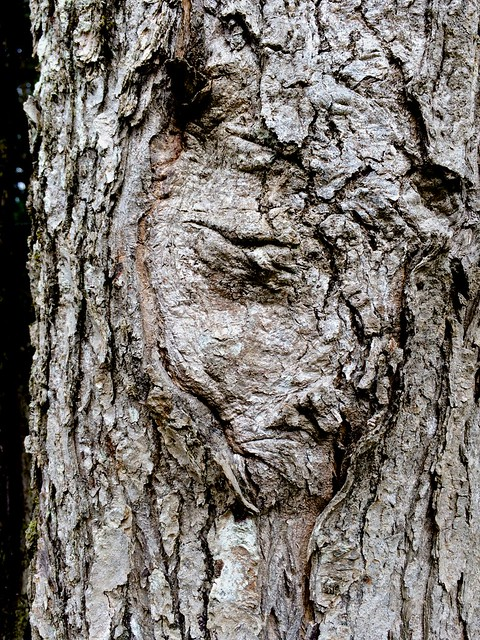Birch Point tree face