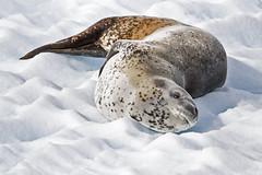 IMG_1778 Leopard Seal 4x6 120313