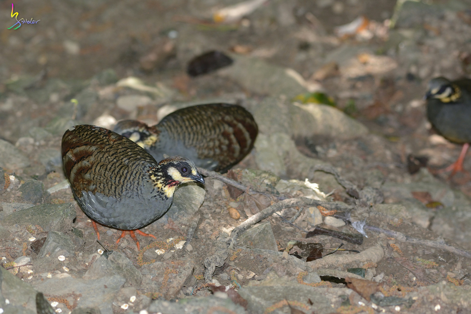 Taiwan_Hill_Partridge_5694