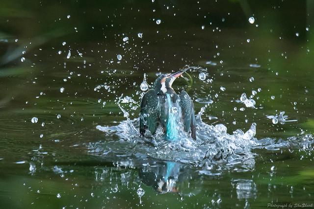 20171026-kingfisher-DSC_6091