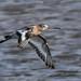 Black tailed Godwit Marshside RSPB D210bob