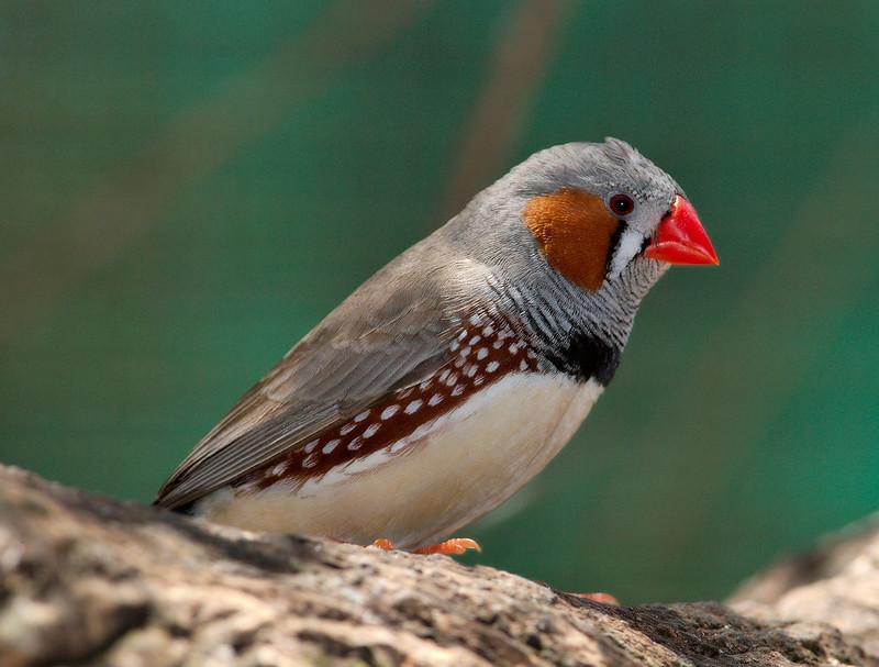 Taeniopygia_guttata_-_profile_-_dundee_wildlife_park
