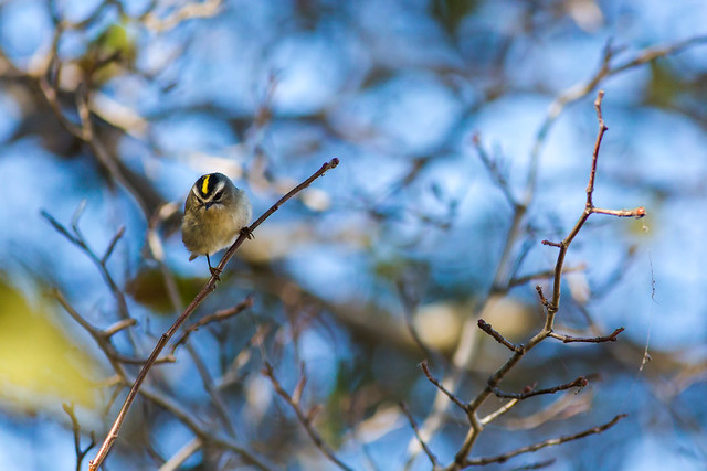 a golden crowned kinglet