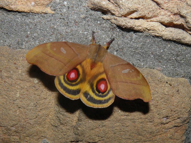 Hyperchiria incisa bicolor