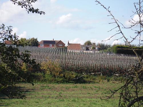 Orchard, Osiers Farm