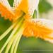 White & Orange Lily against Green, 7.5.16