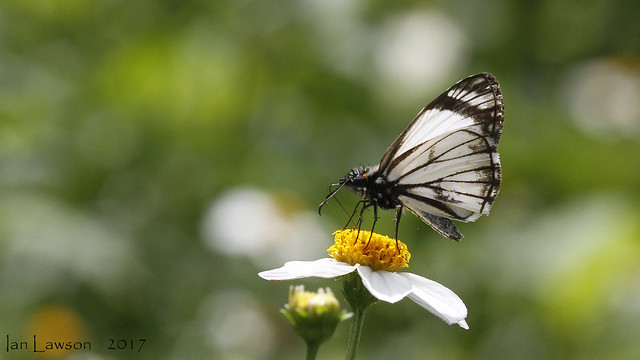 Helioptes arsalte - Veined-white, Canon EOS 7D, Tamron SP AF 180mm f/3.5 Di Macro