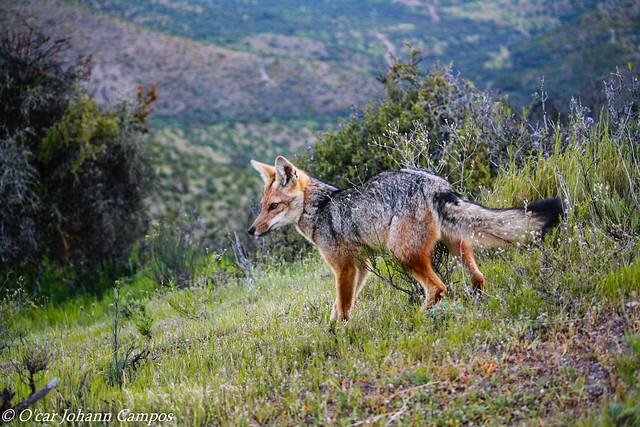 Zorro Culpeo - Andean Fox