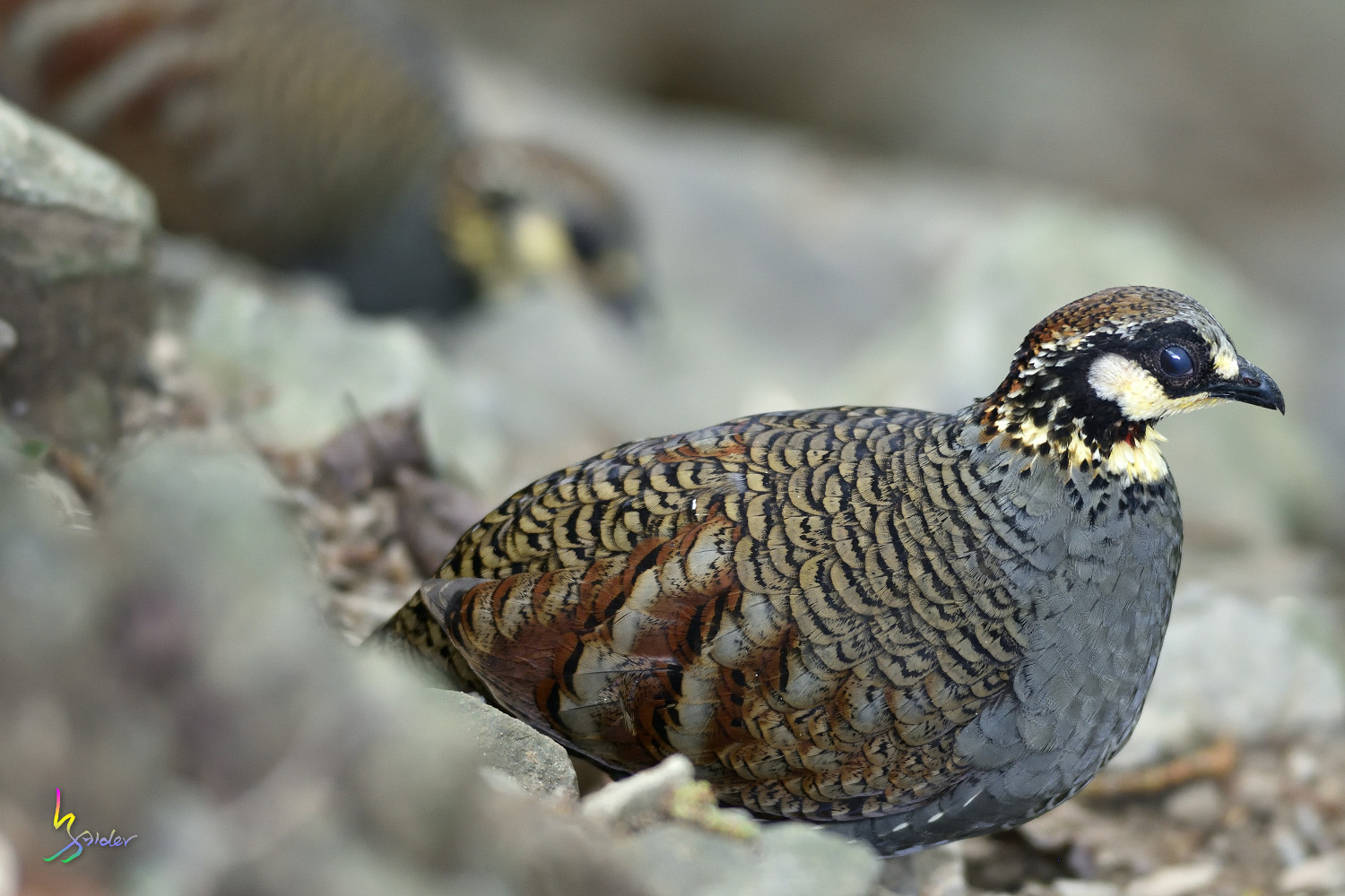 Taiwan_Hill_Partridge_3188