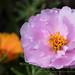 Portulaca grandiflora, 9.13.17