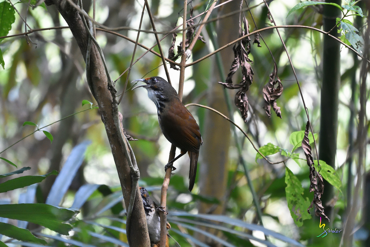 Rusty-cheeked_Scimitar_Babbler_1429