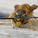 Social Wasp