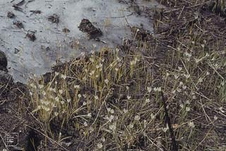 Crocus albiflorus  by snow. Valentine alpe June 1977