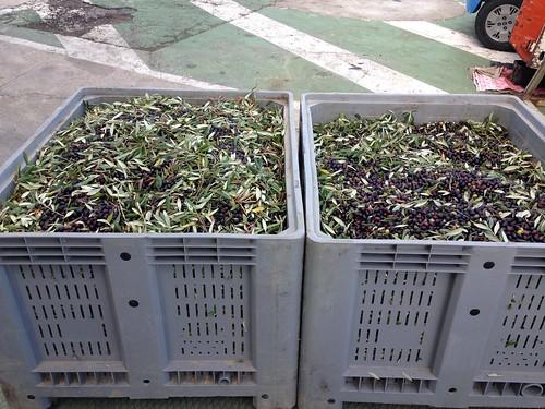 Le Raccolta delle olive ad Atri