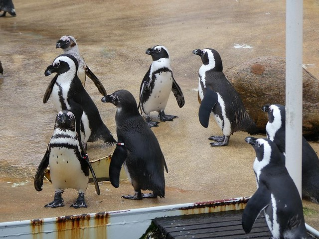 Pinguine, Zoo Hannover