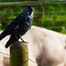 Jackdaw with a touch of white, Northycote Farm