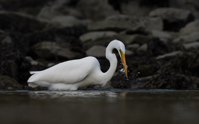 Great egret, Cove Island