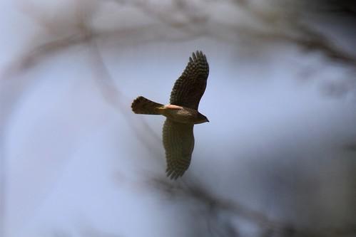 Cooper's Hawk through the trees