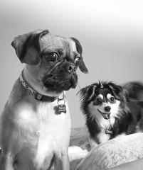 Grey Dogs