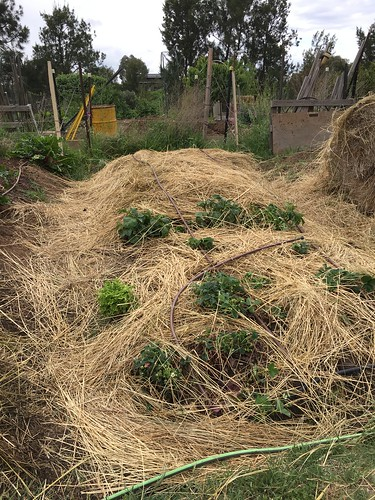 Potato bed covered in straw