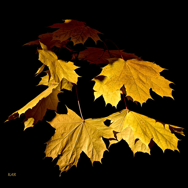 Sycamore leaves -05
