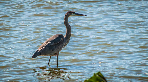 Heron On the Banks