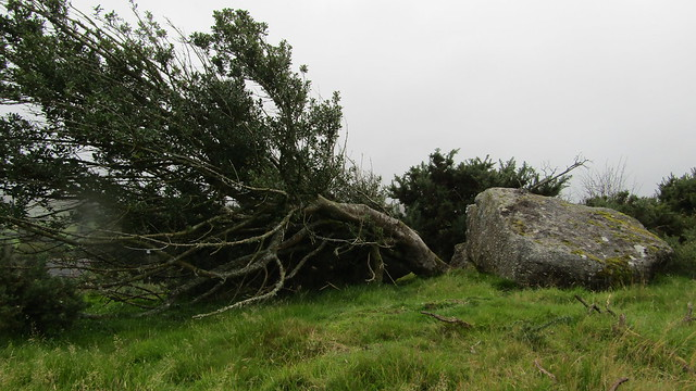 Toppled holly bush on Bee Tor