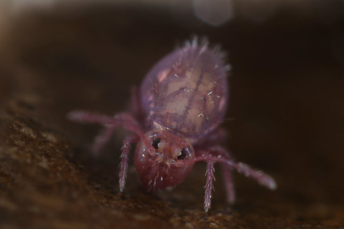 Wed, 10/18/2017 - 14:59 - Found in Kinrooi.  This springtail has a nice drawing don't you think ?