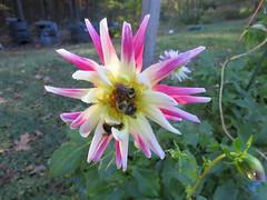 Three Slow Autumn Bees On A Dahlia