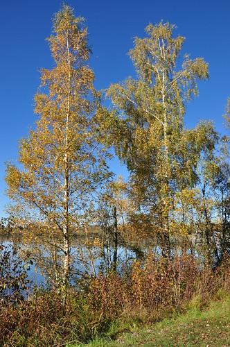 Birken im Oktober