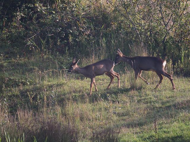 Roe Deer - kids