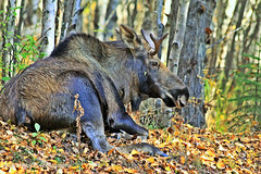 Young Bull Moose W_8285