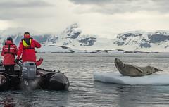 Leopard seal encounter