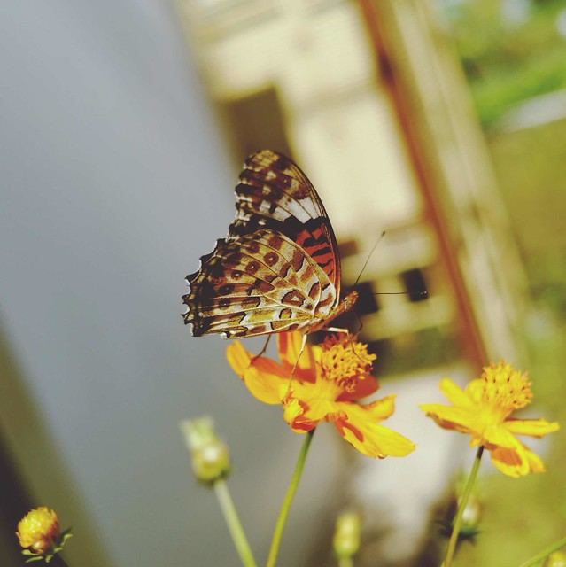 Butterfly on yellow cosmos