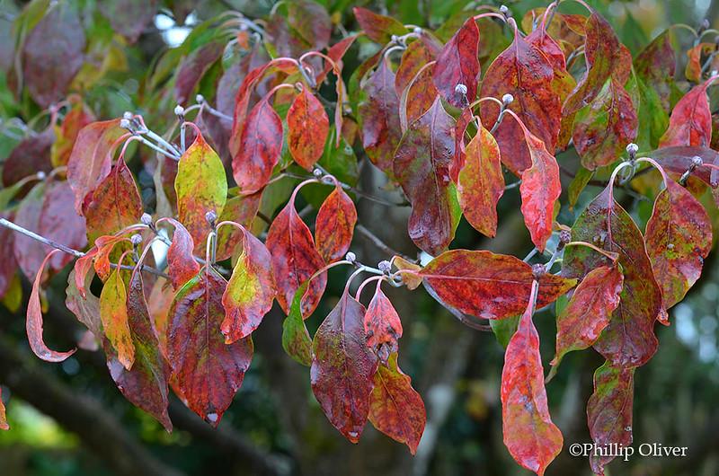 dogwood-cornus-florida