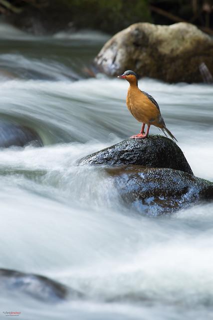 Torrent duck (Merganetta armata) female resting on a rock
