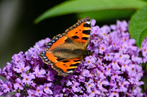 Butterfly autumn: tortoiseshell on buddleia flower