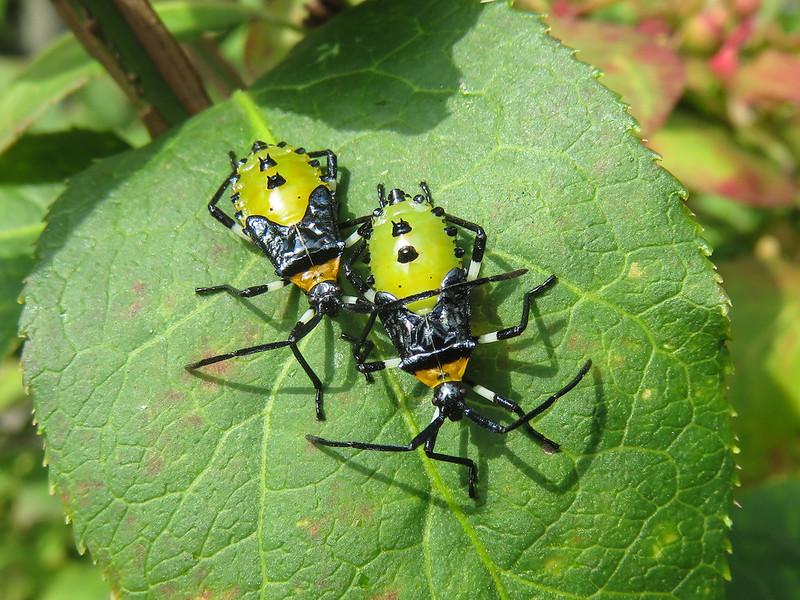 Plinachtus bicoloripes. Larvas