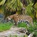 <p><a href=&quot;http://www.flickr.com/people/94209416@N06/&quot;>Seventh Heaven Photography</a> posted a photo:</p>&#xA;&#xA;<p><a href=&quot;http://www.flickr.com/photos/94209416@N06/37298508972/&quot; title=&quot;Jaguar (Panthera onca)&quot;><img src=&quot;http://farm5.staticflickr.com/4461/37298508972_db7364a4e0_m.jpg&quot; width=&quot;240&quot; height=&quot;160&quot; alt=&quot;Jaguar (Panthera onca)&quot; /></a></p>&#xA;&#xA;<p>Chester Zoo's male Jaguar 'Napo'.</p>