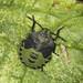 Common Green Shieldbug Final Instar Nymph