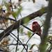 river cardinal