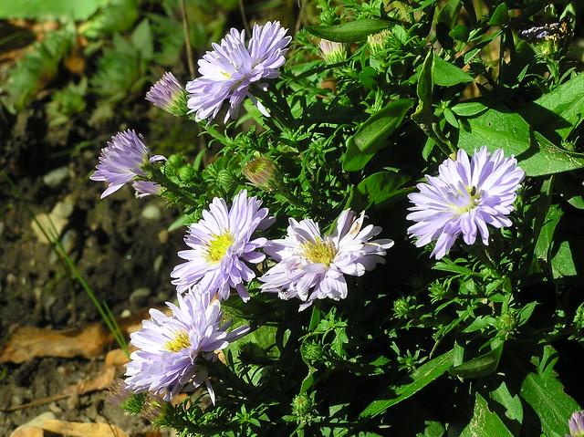 Aster dumosus cv.