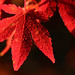 Small photo of Acer japonicum